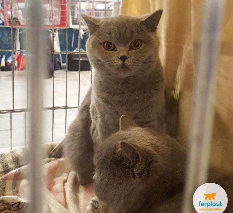 gatto di razza british shorthair alla mostra felina internazionale di vicenza