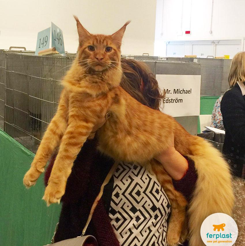gatto maine coon in esposizione alla mostra felina internazionale a vicenza