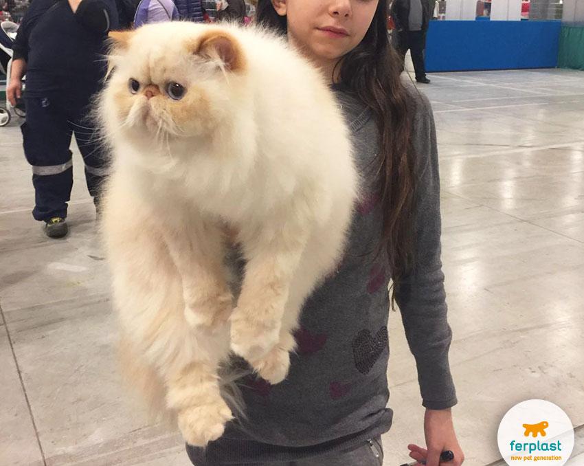gatto persiano all'esposizione felina internazionale di vicenza