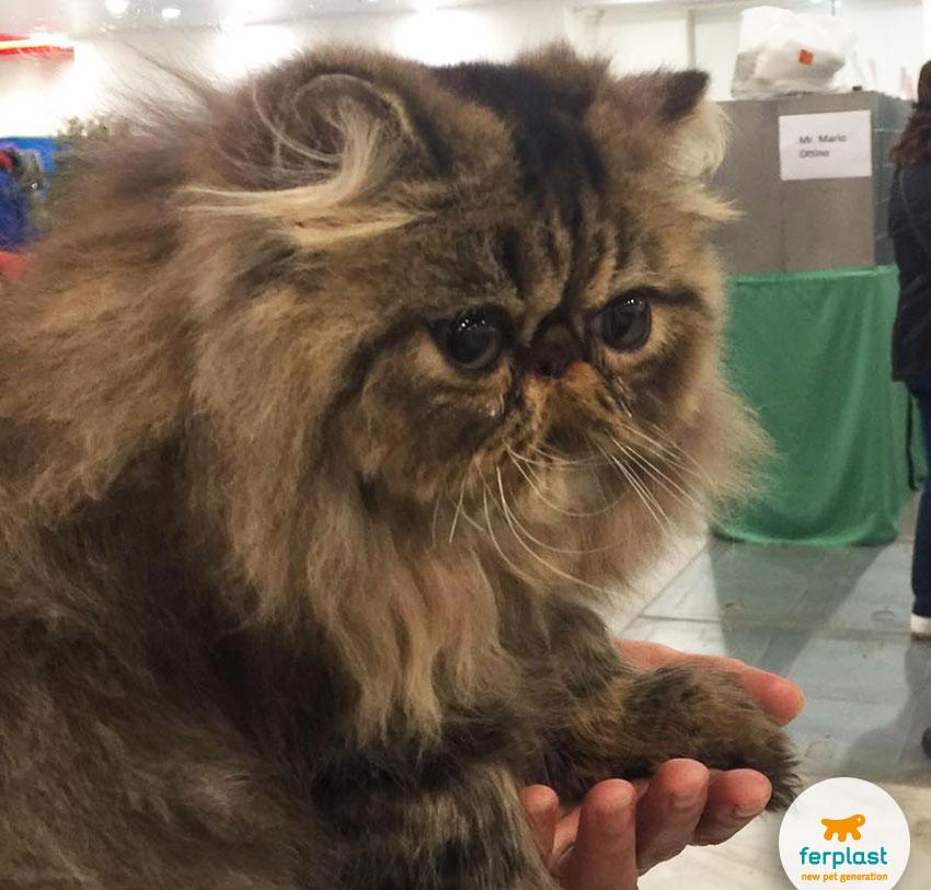 gatto persiano alla mostra felina internazionale di vicenza