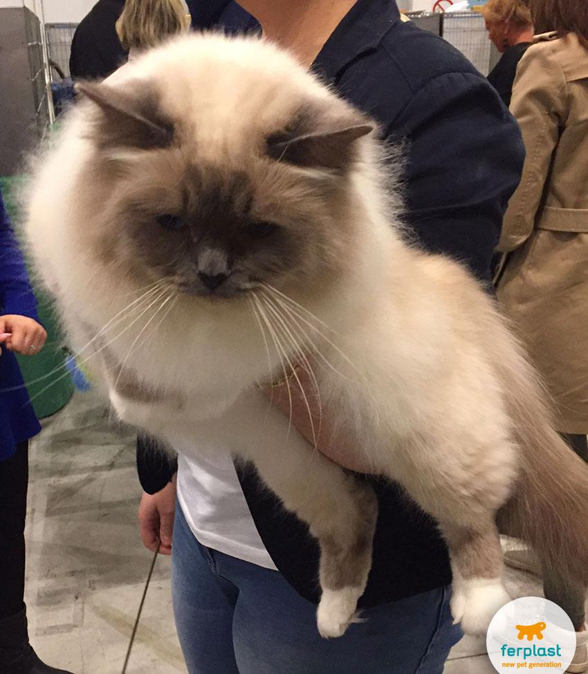 gatti sacro di birmania alla mostra internazionale felina di vicenza