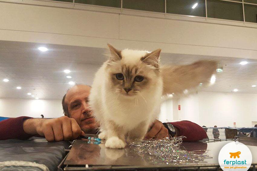 gatto sacro di birmania alla mostra felina internazionale di vicenza