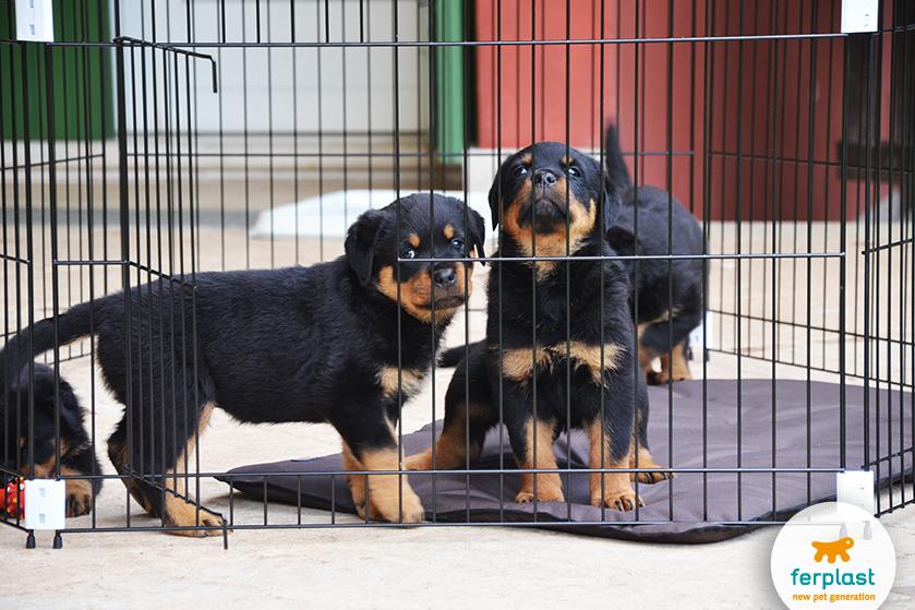 educar cachorros filhotes com cercado de treinamento