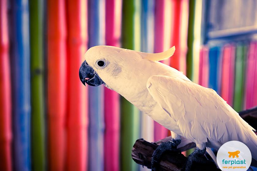 quanto_vive_pappagallo