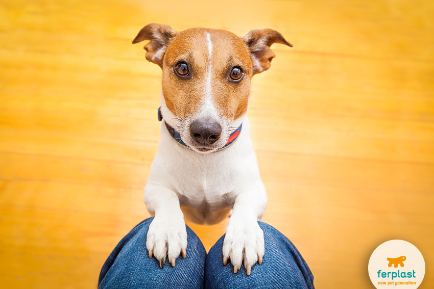 cane jack russell che chiede cibo