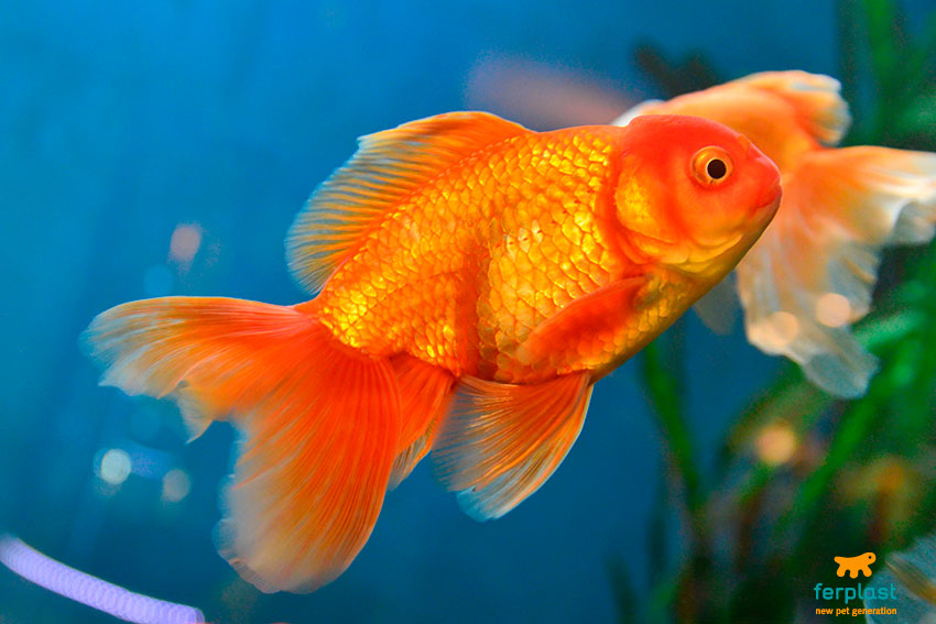 Japanese goldfish a symbol of wealth and happiness love for Carpa pesce rosso