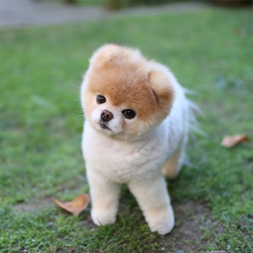 Toy Dog That Has Puppies