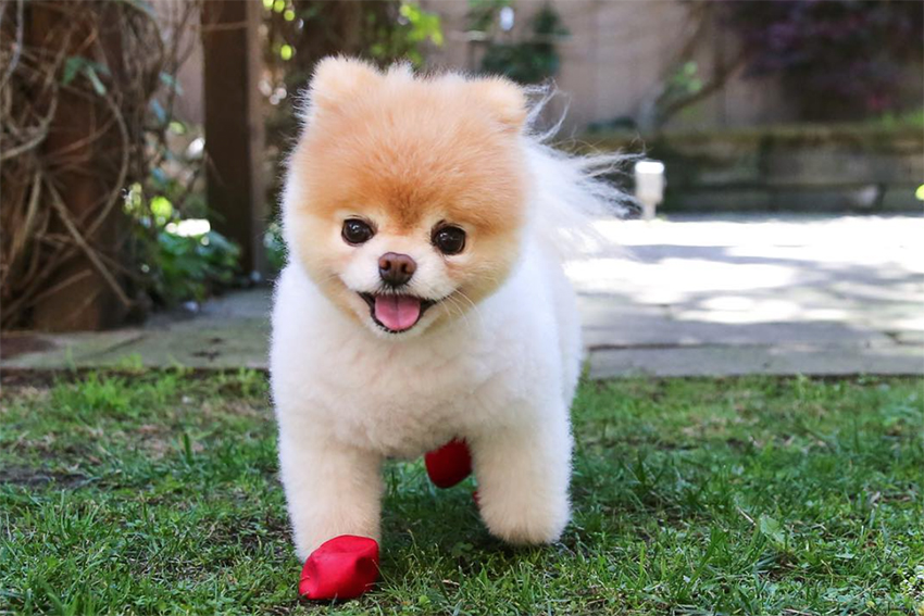 What Dog Looks Like A Big Pomeranian
