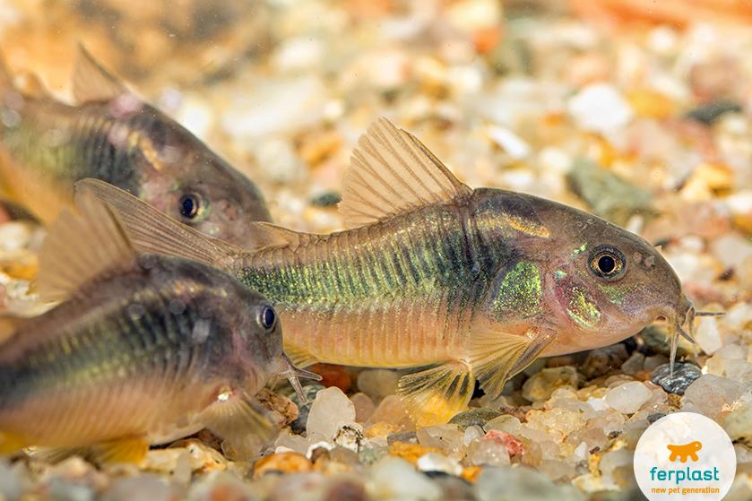 peixes limpadores de aquário
