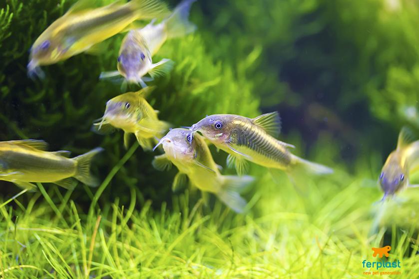 o peixe limpador