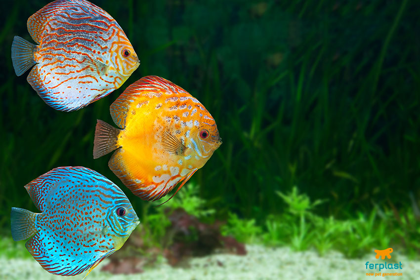 allestire e arredare l'acquario pesci discus