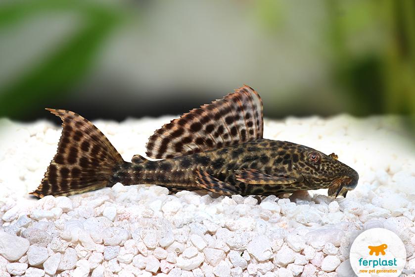 peixe limpador no aquário