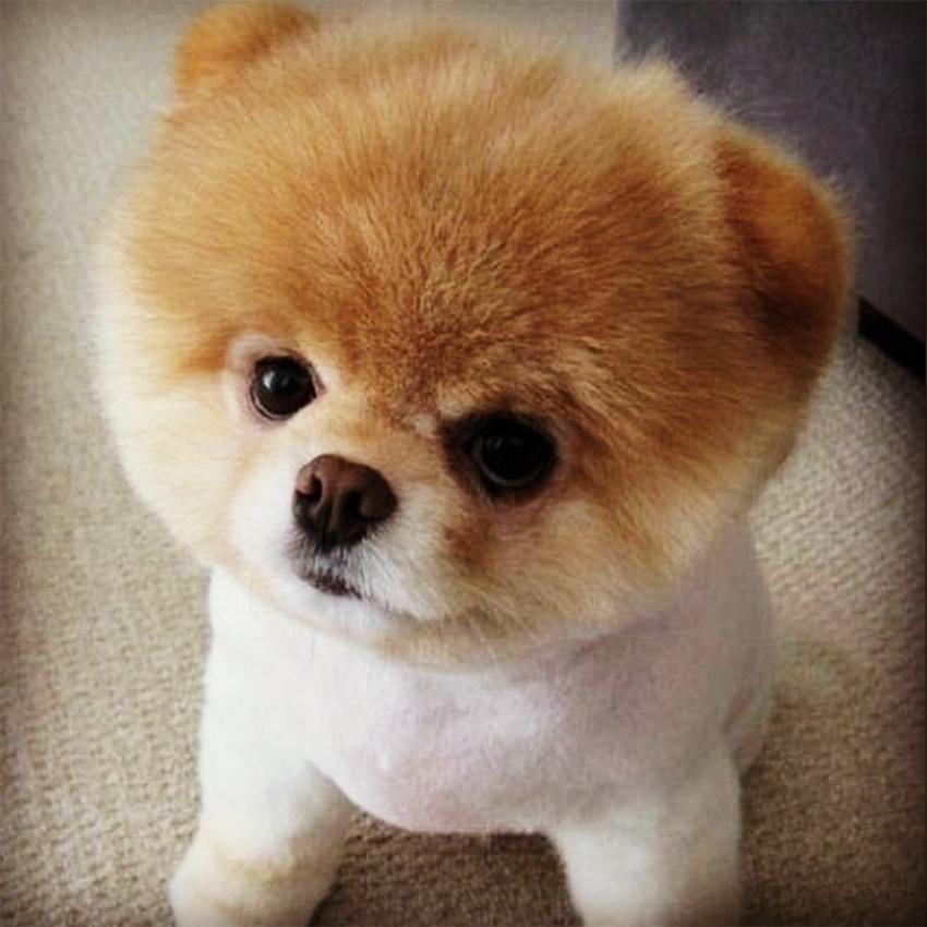 o cão Boo o Lulu da Pomerania