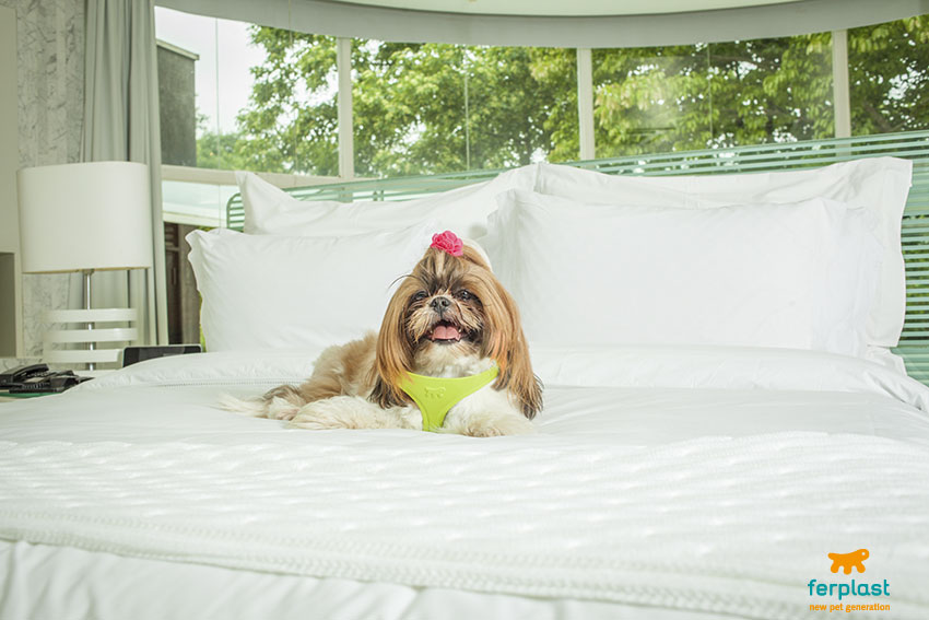 migliori cani da appartamento shih tzu