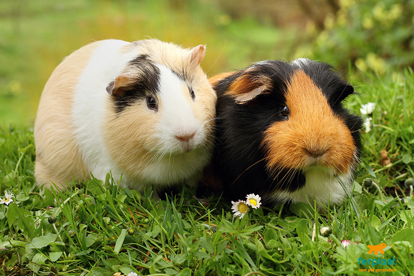 how to indrocuce a new guinea pig love ferplast