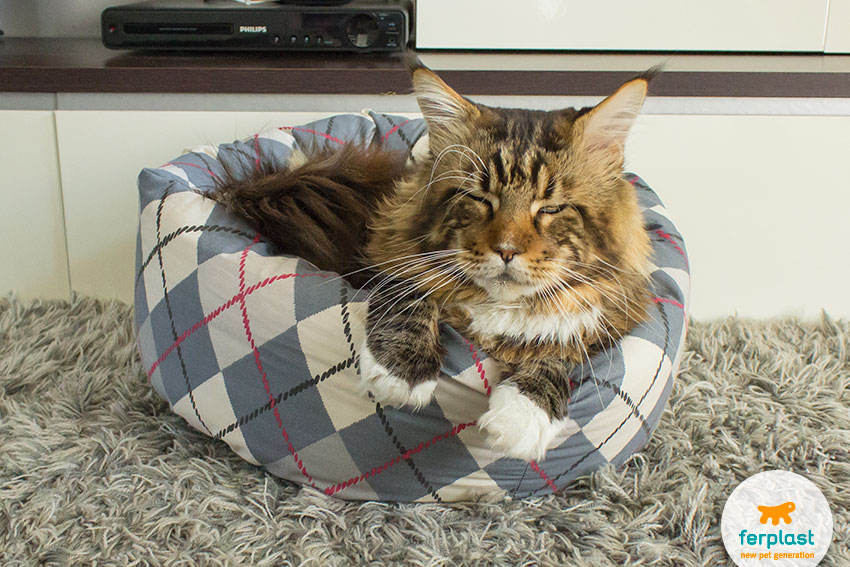 gatto di taglia grande razza maine coon che dorme nella sua cuccia