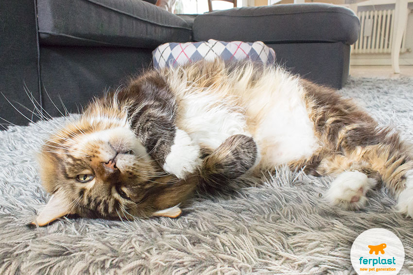 carattere maine coon gatto gigante