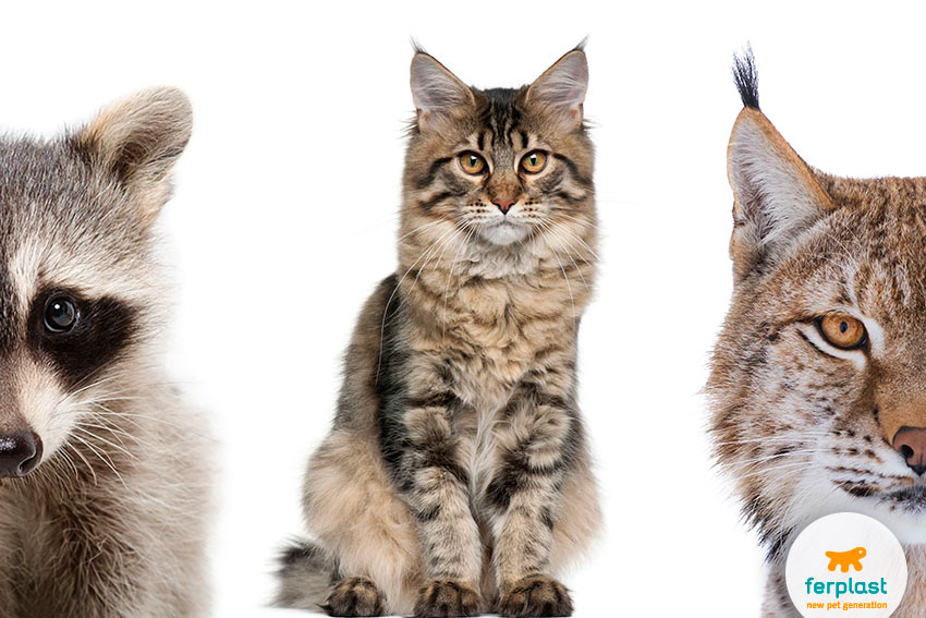 maine coon gatto lince