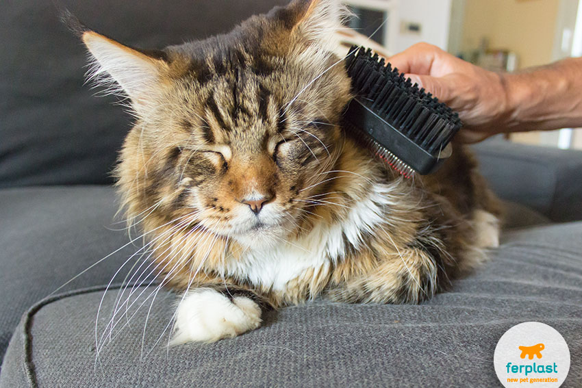 Maine Coon This Giant Cat S Character And Needs Love