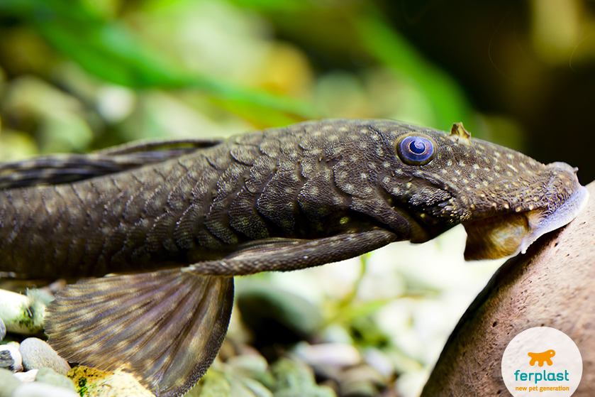 peixe limpador de aquário ancistrus