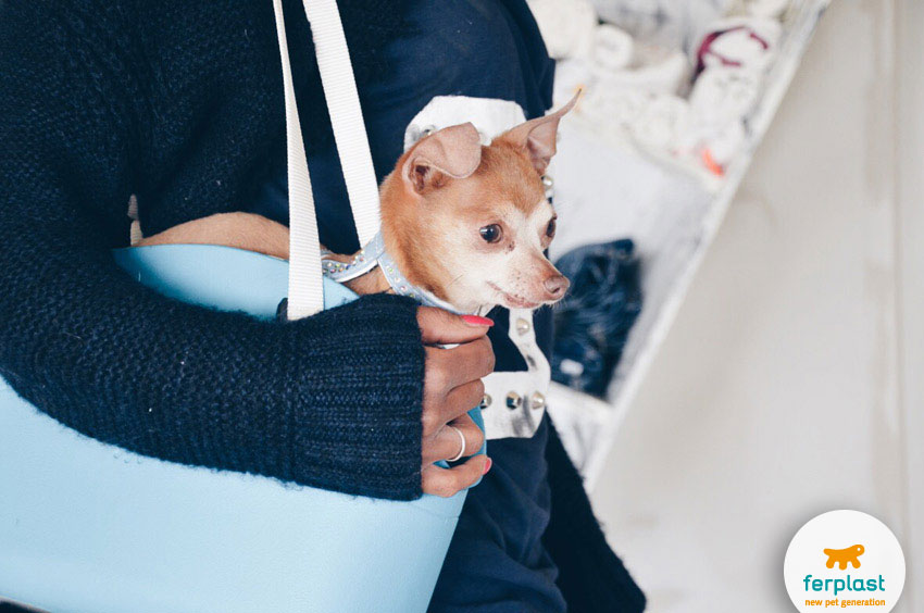 Chihuahua best apartment and lap dog breeds