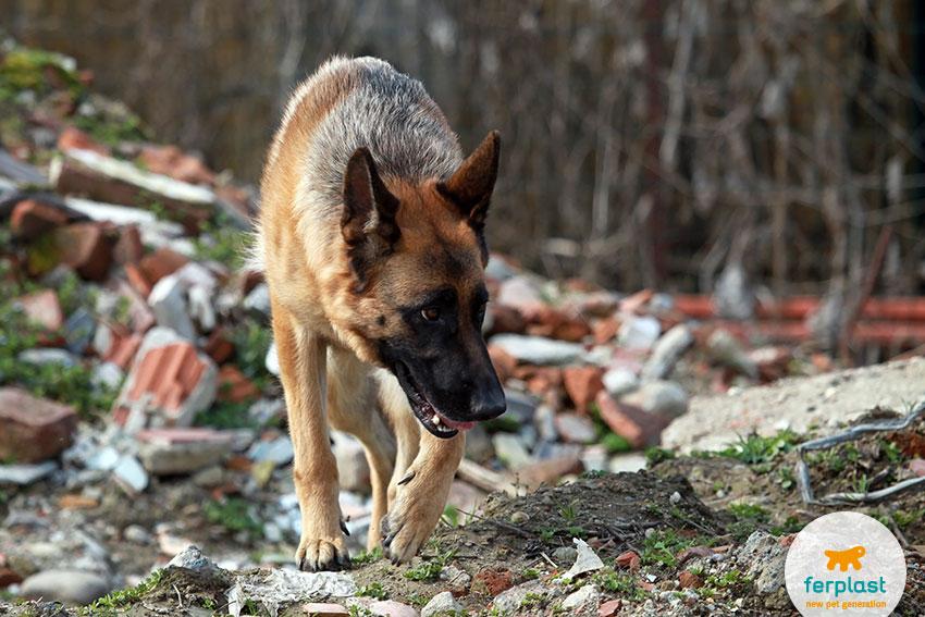 pastore tedesco come cane da soccorso