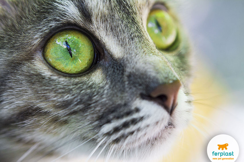 green cats' eyes