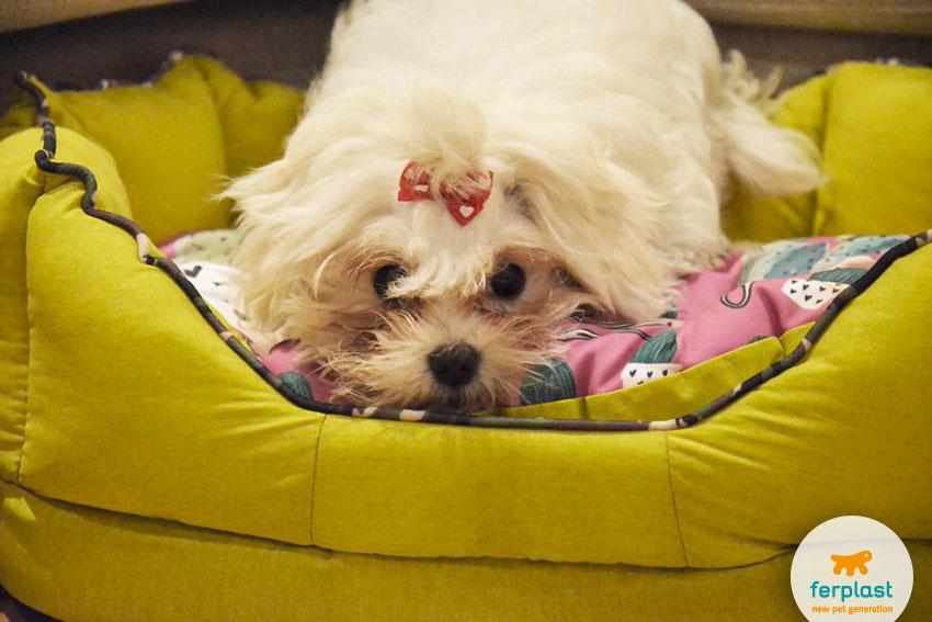 adorable maltese dog on his bed