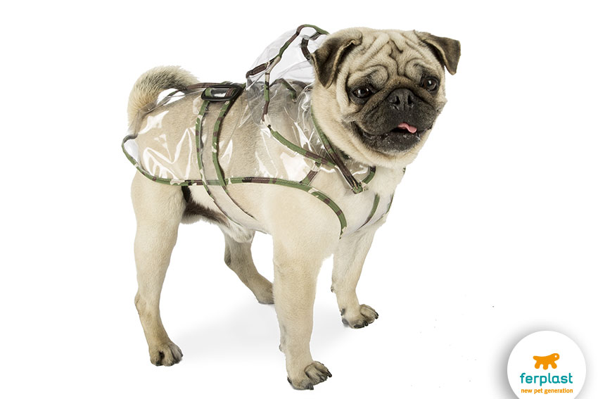 lovely pug with a raincoat