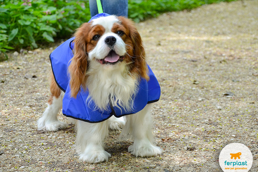 best apartment dogs cavalier king charles spaniel