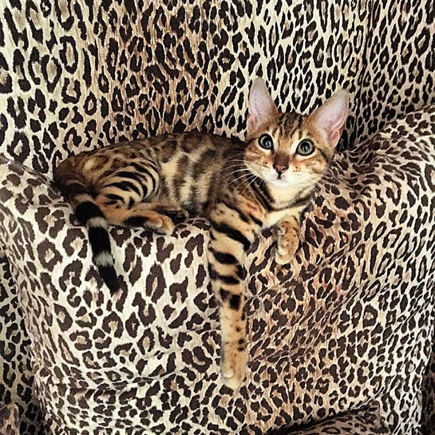 gatto_dolce_gabbana_ferplast_bengalese