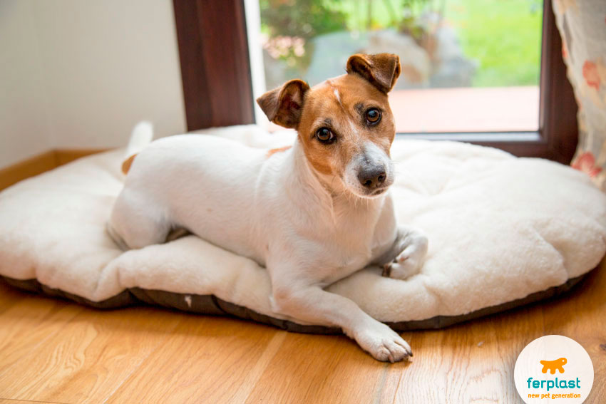 lovely jack russell on a padded cushion