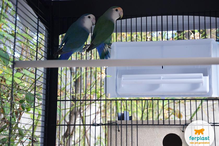 pappagalli_convivenza_con_canarini