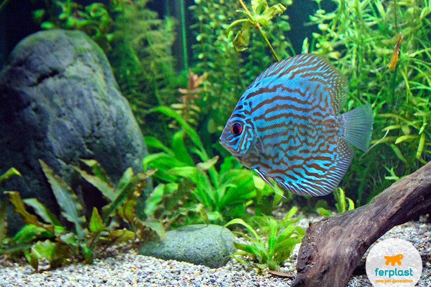beautiful blue discus fish in aquarium