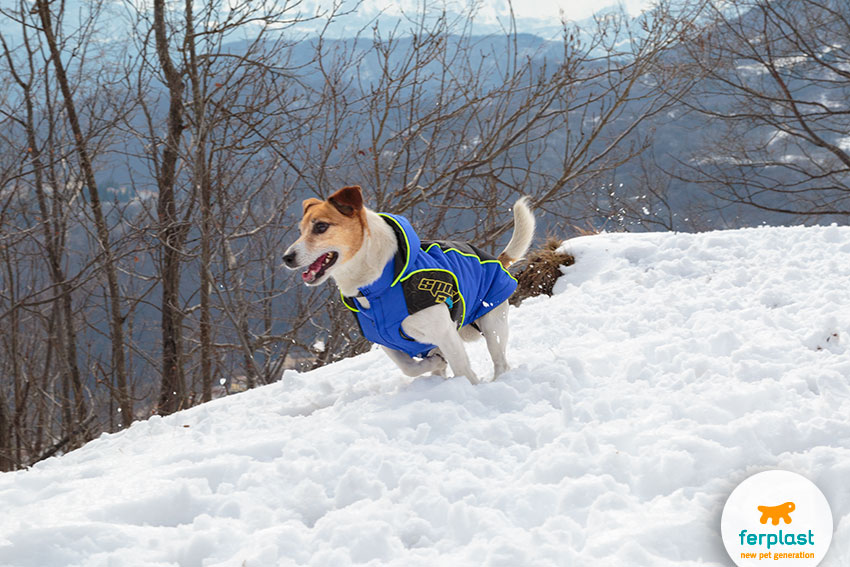 sporty jack russell dog running in the snow