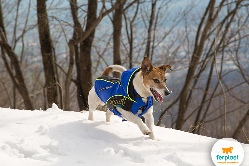 jack russell dog playing in the snow