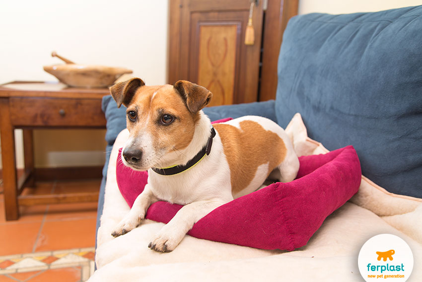 adorable jack russell on a heated bed for dogs and cats