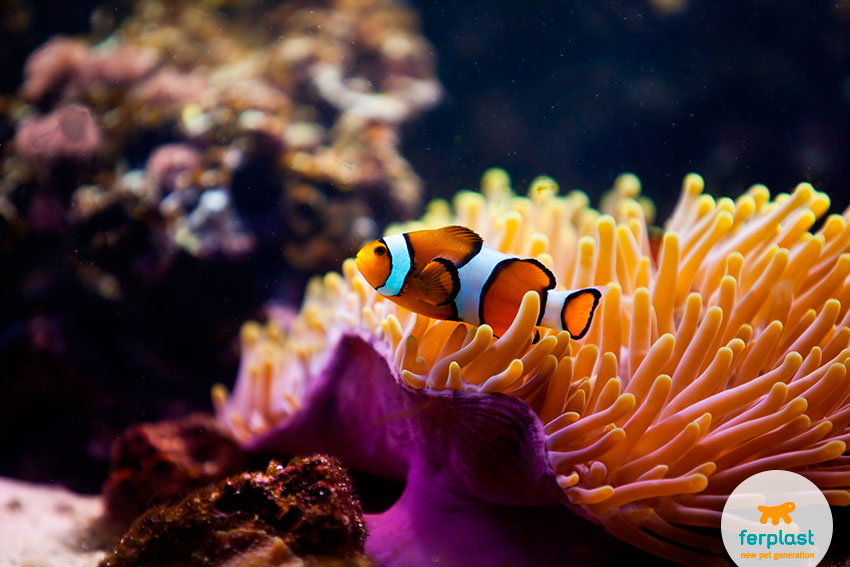 illuminazione acquario pesce pagliaccio