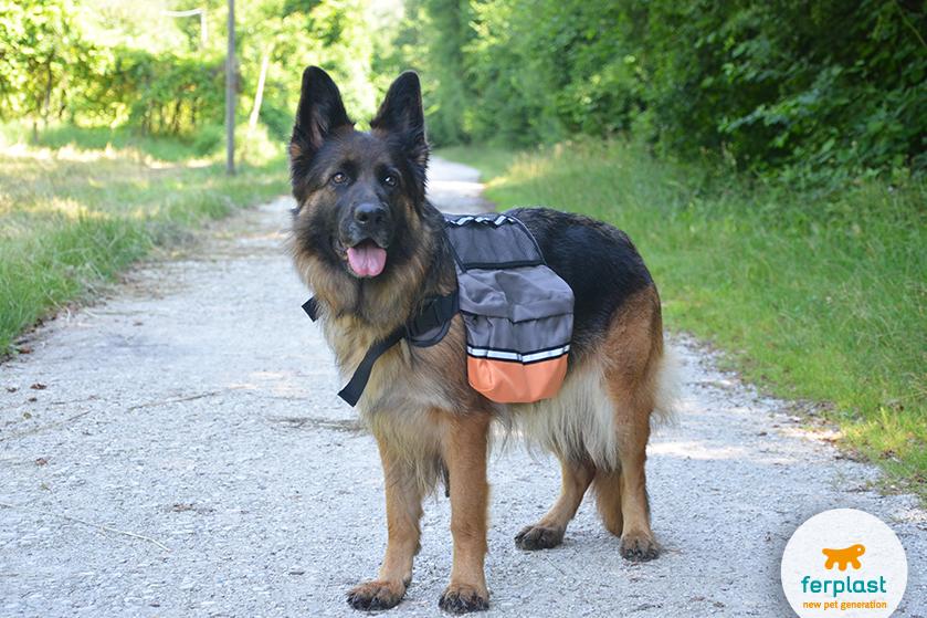 lindo pastor alemao com mochila para caes