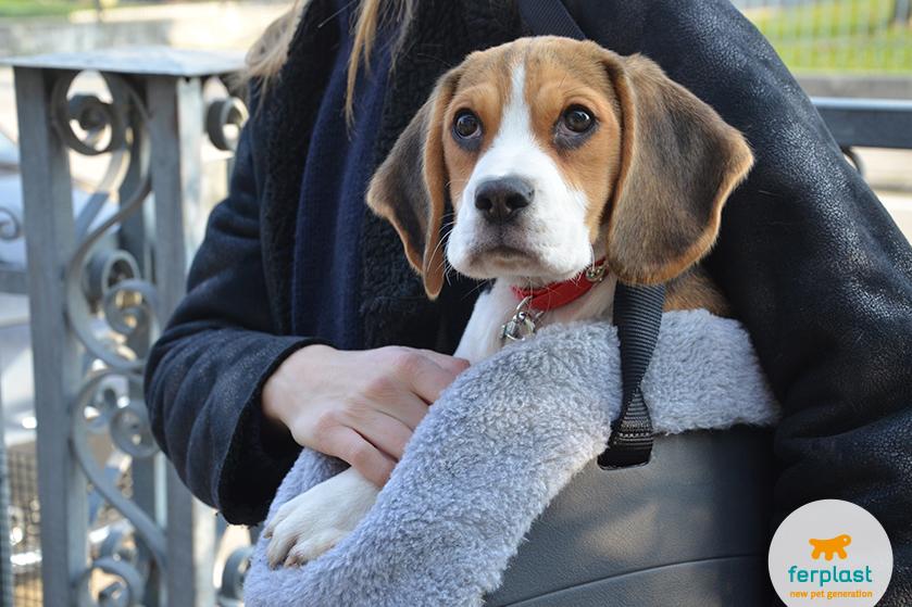 cucciolo_beagle_prezzo