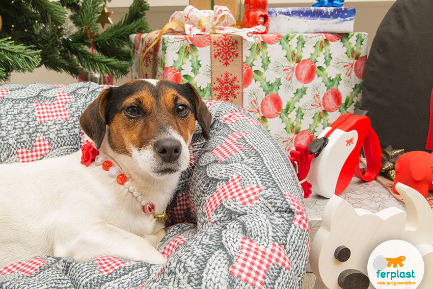 lovely female jack russell dog under a christmas tree