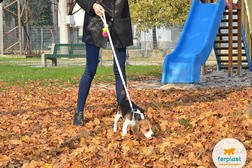 beagle_cucciolo_come_educarlo