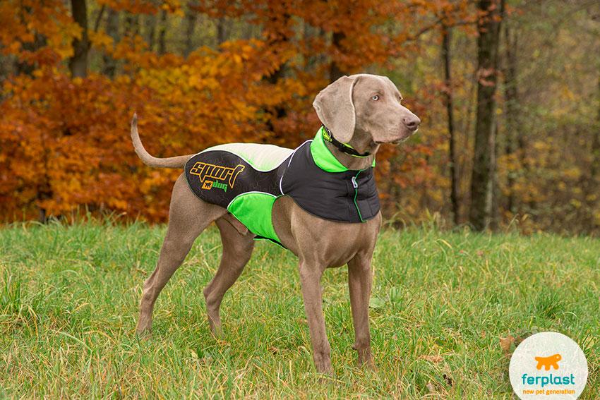 cane di razza weimaraner con cappottino sportivo