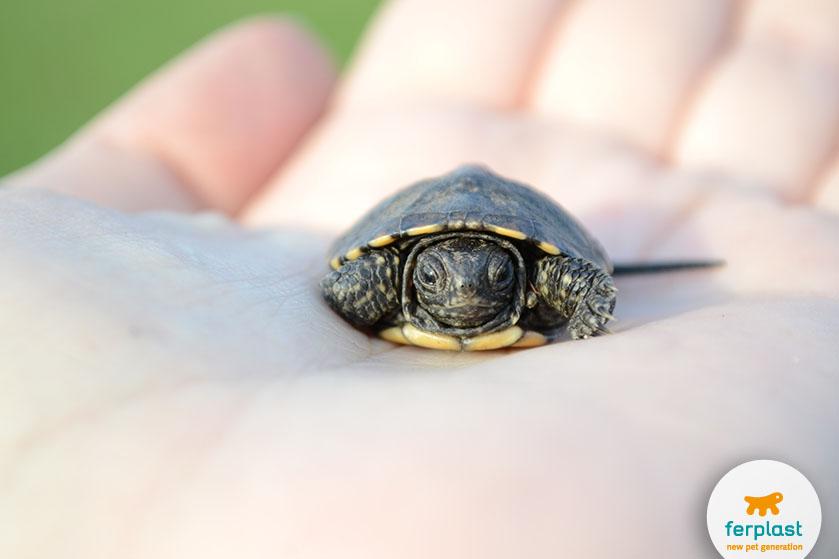 come_far_riprodurre_la_tartaruga_acquatica