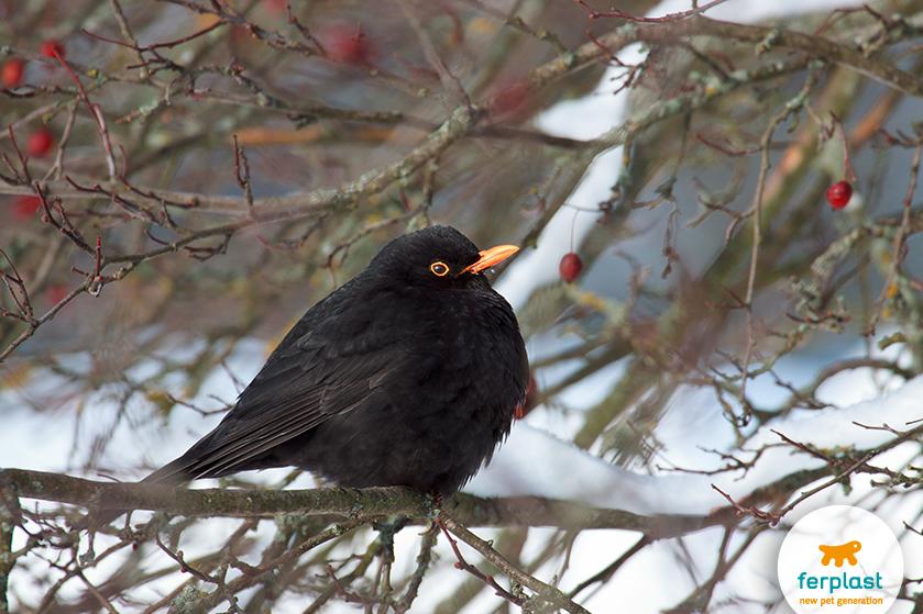 merlo_uccello_invernale