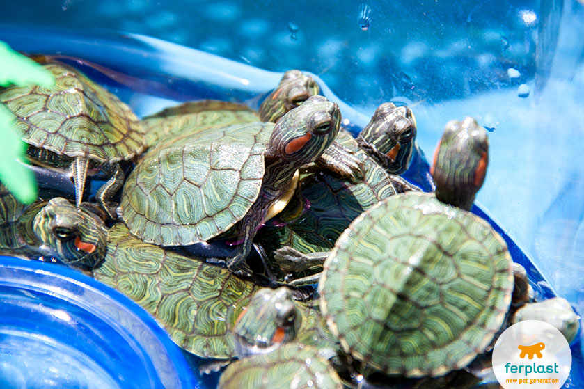 Riproduzione delle tartarughe d 39 acqua love ferplast for Mangime tartarughe acqua
