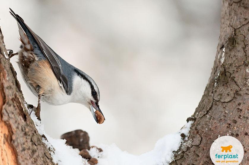 picchio_muratore_cibo_inverno