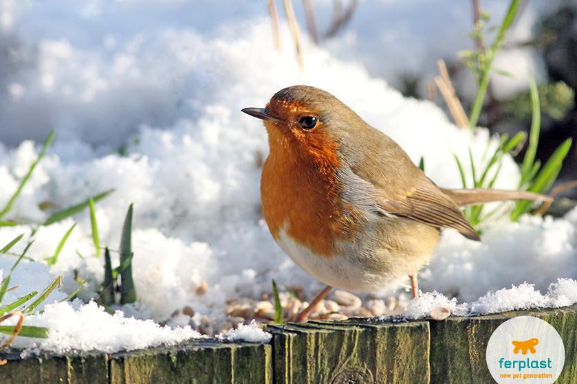 uccello_inverno_pettirosso