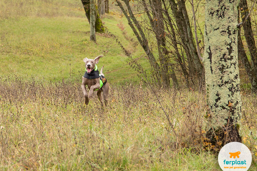 weimaraner dog running through the grass