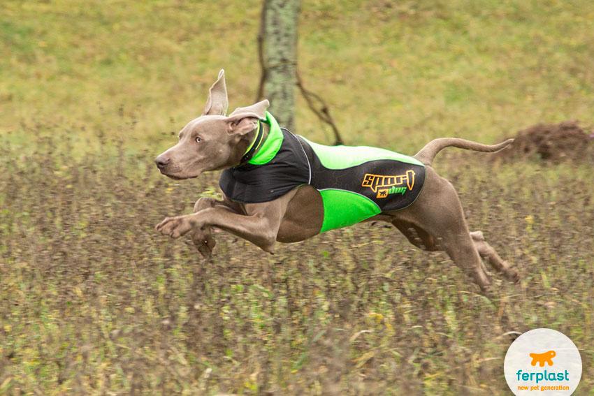cane di razza weimaraner che corre con un cappottino